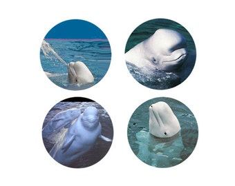 Beluga Whale Magnets:  4 Cool Belugas for your home, your collection,  or to give as a unique gift