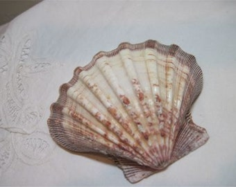 Large Sea Shell - Browns Lions Paw Scallop Shell Ring bearer shell