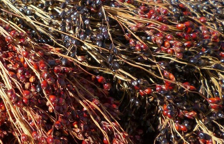Sorghum Amish Broom Corn Intriguing And Rare Heirloom
