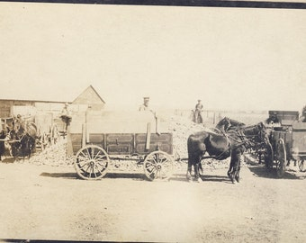 HORSE and WAGONS Surround a Big Pile of CORN About to be Taken to the Market Photo Postcard Circa 1910
