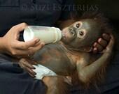 40% OFF SALE, Baby Nursery Art, Rescued Baby Orangutan Photo, 8x10, Baby Animal Photograph, KIds Room Decor, Baby Monkey, Baby Shower