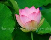 Lotus Blossom Photographic Art Print - Nature Photography 5 x 7
