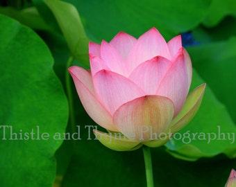 Lotus Blossom Photographic Art Print - Nature Photography 5x7