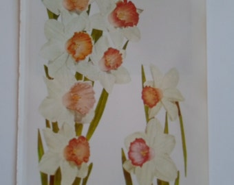 Vintage 1960s  Pink Trumpet Daffodils Book  Sweet  Photo Book Plate