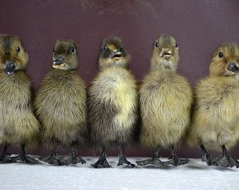 Real taxidermy of 5 Black Duckling, black duck ,Christmas gift, birthday gift,