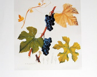 Vintage Botanical Print 1984 Color Art Original Book Plate 319 Blue Grapes vitis lincecumii Grapevine Leaf Nature French Fruit Home Decor
