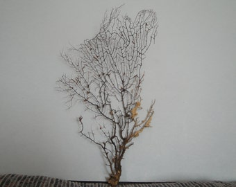 "8.5"" x 16"" Natural Black Color Gorgonian Sea Fan Fish Tank Seashells Reef Coral"