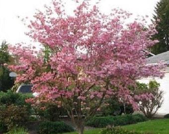 10 Pink Dogwood Tree Seeds-1193A