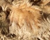 SALE Raw Coopworth fleece, skirted, 4 pounds 6 inch staple