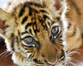 Baby Tiger,Thailand Tigers, Fur Baby, Fine Art Photography Print 8x10