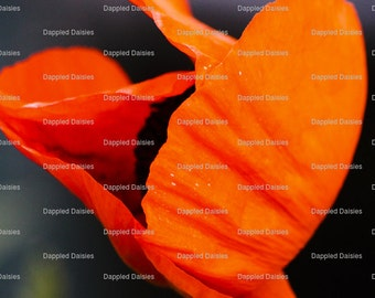 Photograph of a Orange Poppy.