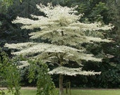 Heirloom 50 Bothrocaryum controversum (Hemsl.) Pojark. Tree Shrubs Bulk Herb Seeds T035