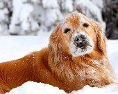 Set of Frosty Snow Dog Golden Retriever Photo Cards, Blank or Holiday