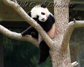 Bao Bao - baby panda bear photo, wildlife photography, giant panda cub, adorable cute baby panda cub, panda photo, panda photography