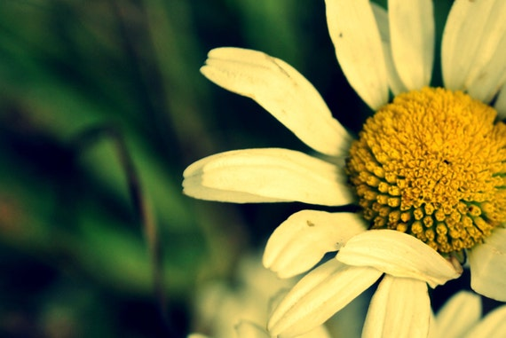 "Ireland Nature Photograph of a Connemara Daisy in Autumn 18"" x 12"""