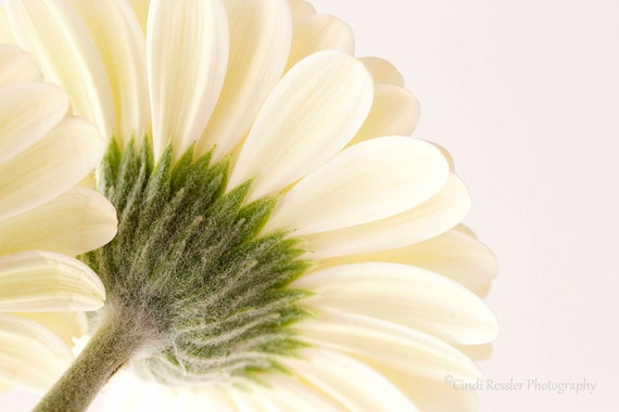 Gerbera Daisy, Photography,  Floral Photography, Botanical Photography