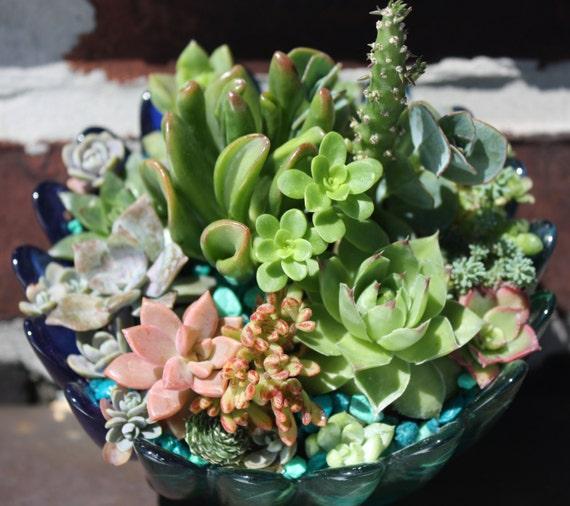 Spirals of Light - Lavish Succulent Garden of Orostachys, Echeveria, Cremnosedum, Opuntia, Aeonium, Sedum Plants in Glass Twisting Planter