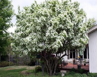 50 White Fringe Tree Seeds, Chionanthus virginicus