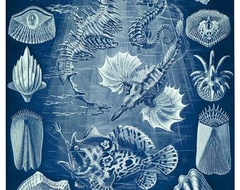 Ernst Haeckel Seahorse Print, Pegasus Seahorse, Seahorse Poster, Coastal Living, Beach Home Decor, Coastal Art, Seahorse Illustration