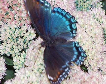 Open Wing Black Swallowtail Butterfly 8 X 10 Instant Download