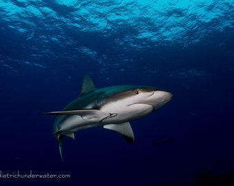 Grey Streak -Reef Shark by Underwater Photography Artist Craig Dietrich Printed on Vibrant Metallic Paper. Choice of black or white matte
