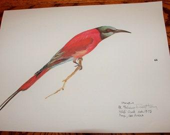 Ray Harm Print - Signed-  MEROPS East Africa Bird