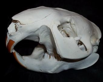 Genuine Beaver Skull