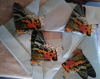 Madagascan sunset moth (Chrysiridia rhipheus) 80 x 1.45 wholesale prices = 116.00