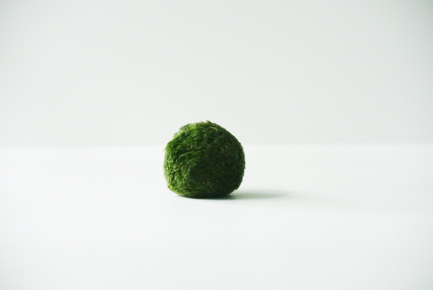 Giant japanese marimo moss ball premium by thezensucculent for Marimo moss ball