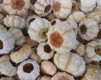 20 pcs sputkin sea urchins, Summer collection,  free shipping.