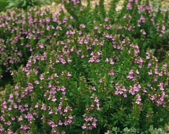 Summer Savory (Satureja Hortensis) Every herb garden needs Savory seeds!