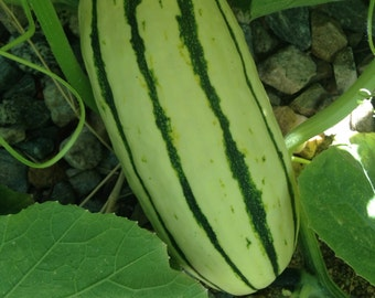 Delicata Squash Seeds Vegetable POTATO ALTERNATIVE  SURVIVAL Organic Heirloom Non-gmo Chemical-Free Open-Pollinated Delicious! Nutritious