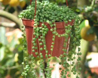 Hanging Pearls Succulent Plant