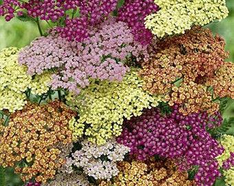 50+  Achillea Flower Seeds Mix / Yarrow / Perennial