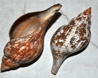 "True Tulip Seashell (4"") - Fasciolaria Tulipa"