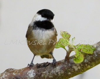 Photograph of Black Capped Chickadee bird on branch; nature wildlife home decor photo wall art Oregon Pacific Northwest 5x7 8x10 8x8 picture