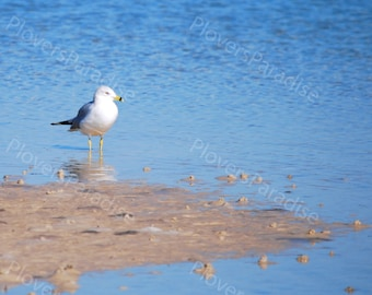 Ring-Billed Gull on Beach // Seagull on Beach Photograph // Florida Nature Photography