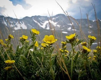 Flowers, Mount Evans, Colorado