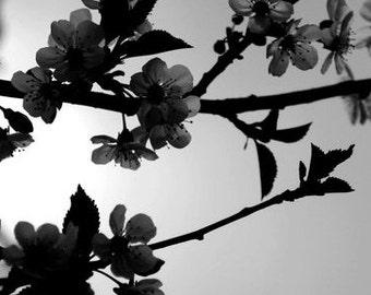 apple blossoms  - 4x10 size print