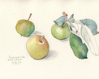 "Little Apple N.5 Watercolor Pencil drawing, ORIGINAL Apples drawing, 8 x 11"". Shabby fruits still life art by Catalina S.A"