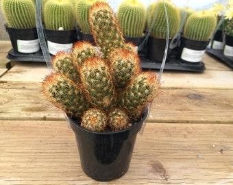 """Medium Cactus Plant. Mammillaria Elongata """"Copper King""""."""