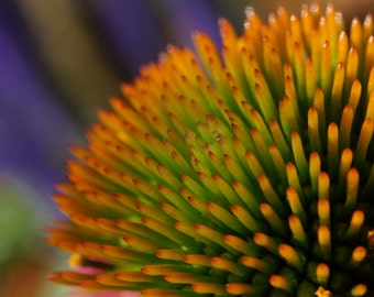 Fine Art Photography, Nature Art, Macro Photography, 5 x 5 Print, Home Décor, Coneflower Plant, Gold, Orange, Purple, Green