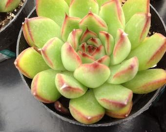 Succulent plant, Echeveria Pulidonis