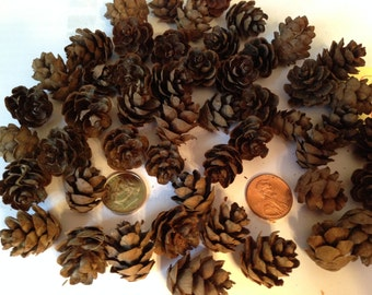MINI PINE CONES consists of 100 Mini Natural Pine Cones for Holiday Crafting