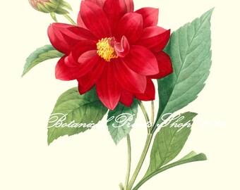 "Dahlia Print. Botanic illustration.  Red Flower Print.  8x10"" 11x14"""