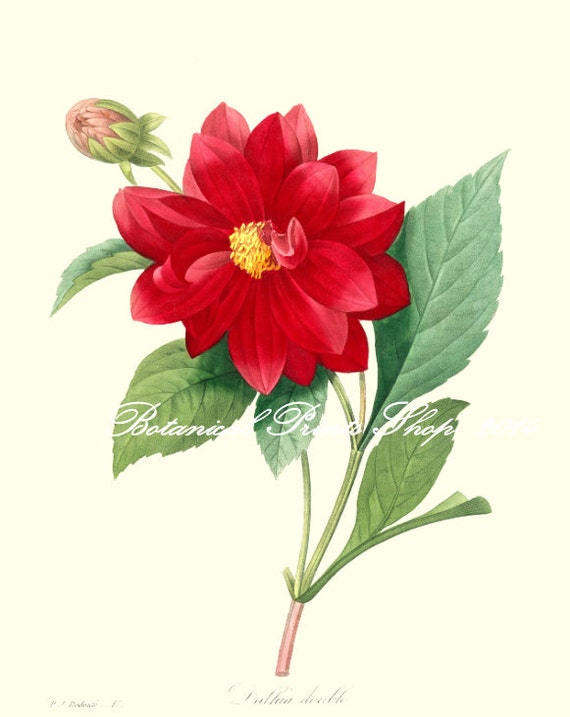 Dahlia Print. Botanic illustration. Red Flower Print.