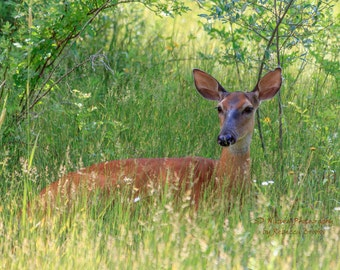 Nature Photography, Deer art, 8x10, 13x19, 5x7, 8.5x11, Doe taking in the shade