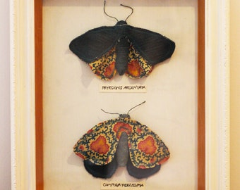 A curiosity cabinet with two fabric moths inside