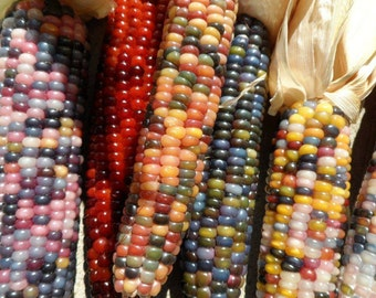 Cherokee Glass Gem Indian Corn 50 Seeds. Non GMO, Heirloom