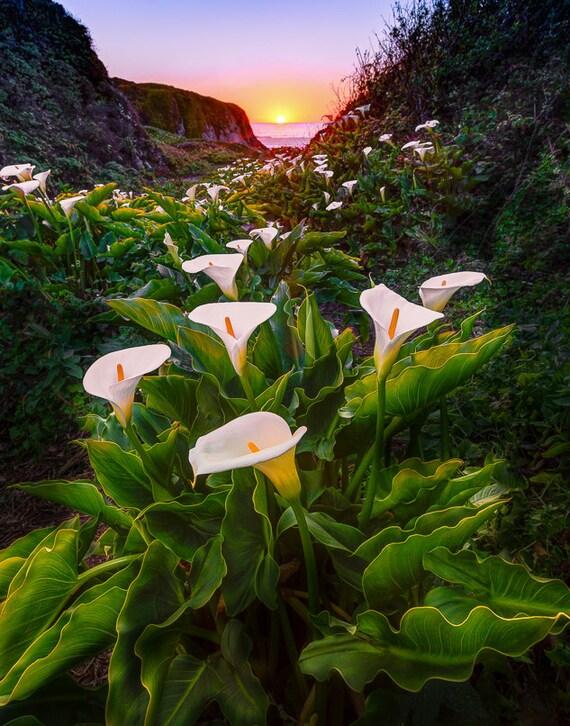Lily Valley Big Sur Big Sur Canvas Calla Lily